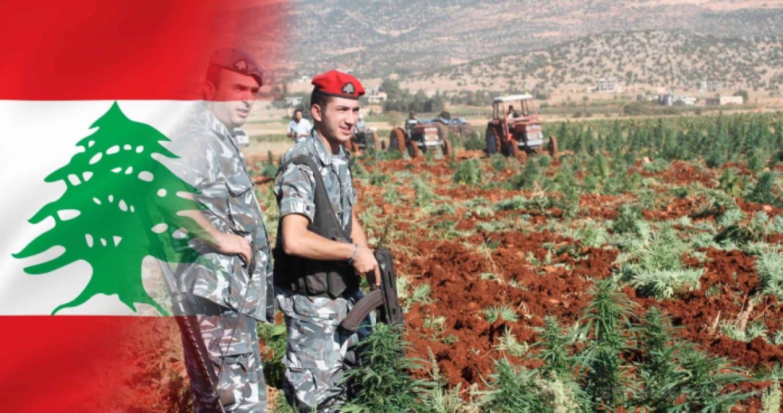 القنب الهندي فرصة تجارية أخرى في أزمة لبنان