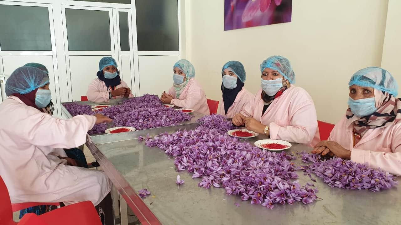 حقائق عن إنتاج الزعفران الذهب الأحمر في المغرب