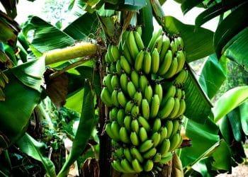 زراعة الموز في الجزائر مشروع تجاري مربح