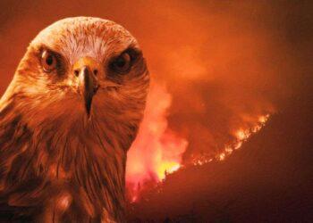 ستستمر حرائق الغابات حتى لو قتلنا كافة طيور الحدأة
