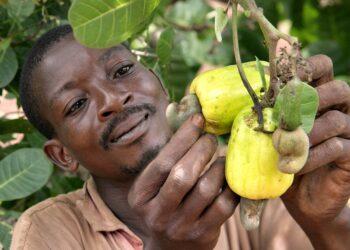 الإقبال العالمي على الكاجو فرصة مربحة لأفريقيا والمغرب
